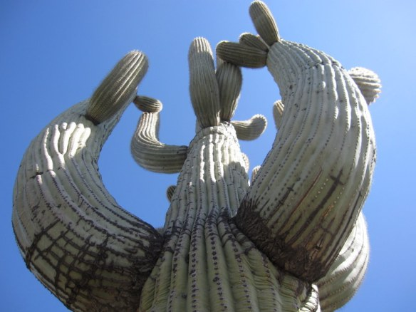 Enormour saguaro cactus