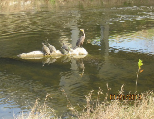 Turtles and birds - all basking in sun