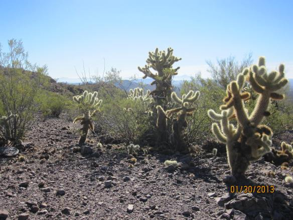 Jumping cholla cactus.  Be careful, as any close contact will enable a chunk of cactus to stick to you.