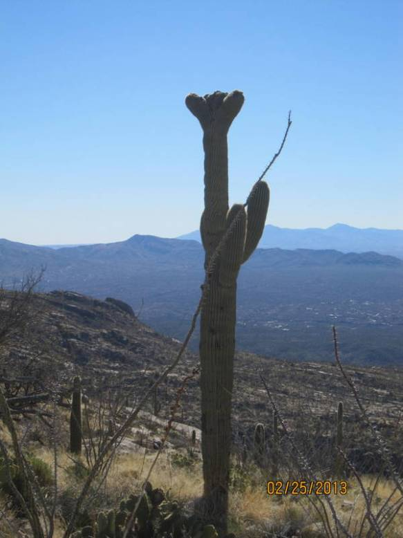 a crested Saguaro near our lunch stop. The crown on the top is rare.