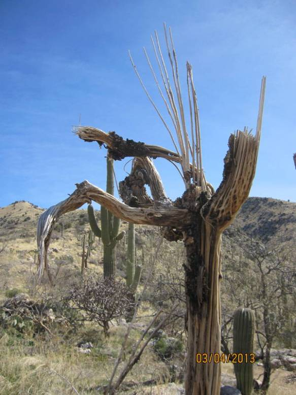 As the Saguaro cactus dies, it leaves a beautiful skeleton.  This one is just beginning to disintegrate.