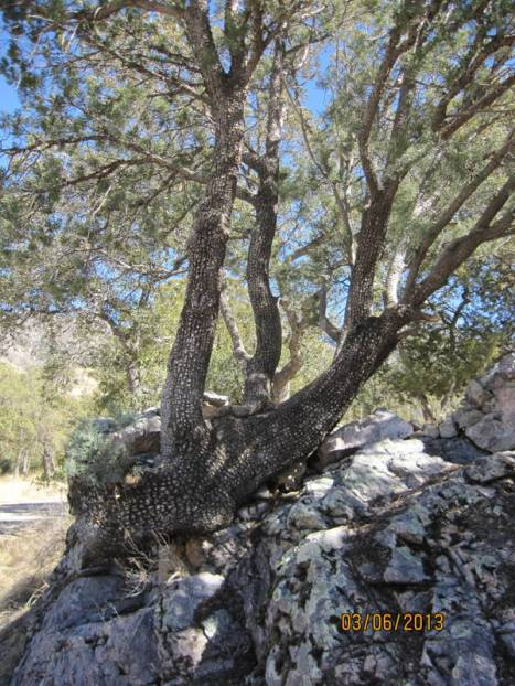 This alligator juniper is growing out of a huge rock.  Madera Canyon