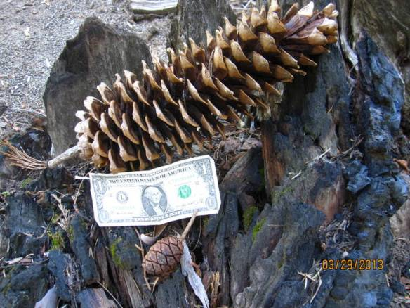 The large cone is from a Sugar Pine - the small one from a Sequoia