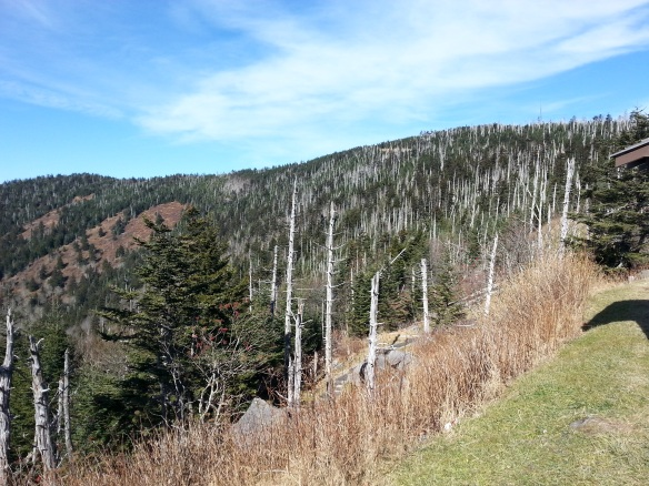 The white stalks are dead Frasier Fir trees, killed by the woolly ageldid. 70% are gone.