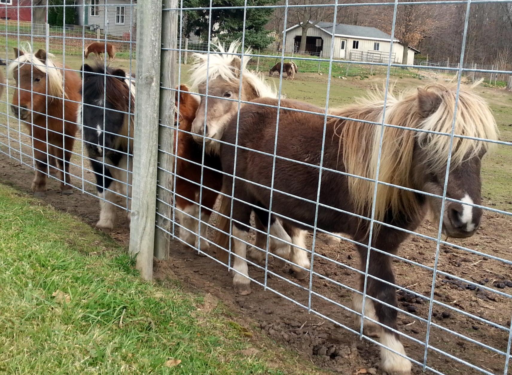 Miniature Horses Campshaws